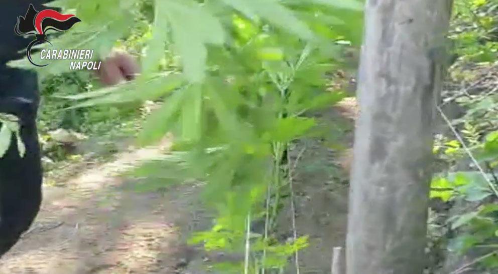 Monti Lattari – scoperta piantagione di cannabis