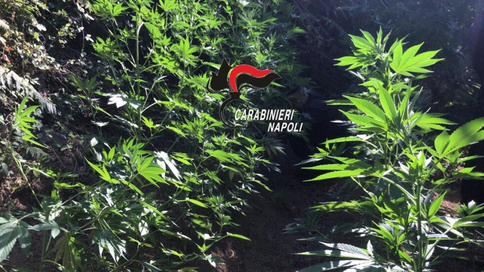 Monti Lattari, regno della cannabis: trovata altra roba