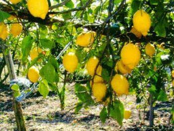 Sant'Egidio, produzione limone sfusato di Amalfi, il Comune chiede solo ora di aderire al consorzio nato nel 2002