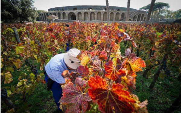 Pompei, tour nelle vigne antiche nel giorno della vendemmia